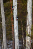 The great spotted woodpecker Dendrocopos major sitting on the. Dry trunk in finnish taiga royalty free stock images