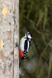 The great spotted woodpecker (Dendrocopos major) sitting on the dry trunk sitting on the. The great spotted woodpecker (Dendrocopos major&#x29 stock photos