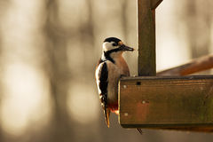 Great Spotted Woodpecker (Dendrocopos major) sitting on the edge Stock Images