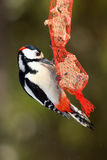 The great spotted woodpecker (Dendrocopos major) sitting on feed. The great spotted woodpecker ,Dendrocopos major, sitting on feeding ball stock image