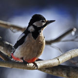 The great spotted woodpecker, Dendrocopos major Royalty Free Stock Image