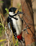 Great Spotted Woodpecker. Drinks tree sap Royalty Free Stock Image