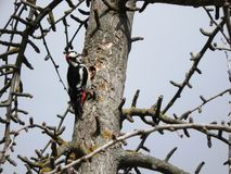 Great spotted woodpecker drumming against a tree trunk stock photo