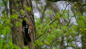 Great Spotted Woodpecker stock video