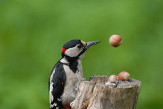 Great Spotted Woodpecker and Eluding Nut Royalty Free Stock Image