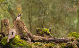 Great-spotted Woodpecker in European Forest Stock Photography