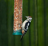 Great Spotted Woodpecker on feeder Stock Photo