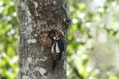 Great spotted woodpecker feeding the young Royalty Free Stock Photos