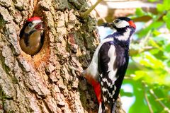 Great spotted woodpecker feeds chick royalty free stock photos