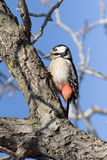 Great spotted woodpecker, female / Dendrocopos maj Stock Photos