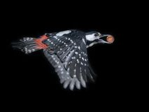 Great Spotted Woodpecker Flight With A Nut Royalty Free Stock Image