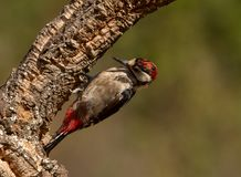 The Great Spotted Woodpecker, Dendrocopos major is sitting on the branch of tree, somewhere in the forest, colorful stock photos