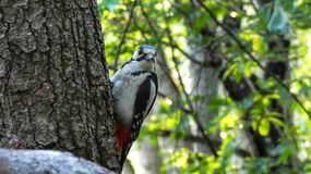 Great spotted woodpecker. Greatspottedwoodpecker, tree, bird, birds, beautifulbirds, summer, woods, forest, nature, naturepath, intree, leaf, leaves stock images