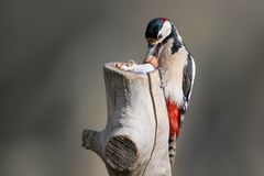 Great spotted woodpecker with a hazelnut in beak sits on the log. On blurred background Royalty Free Stock Photos