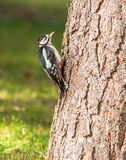 Great Spotted Woodpecker on log. The Great Spotted Woodpecker (Dendrocopos major) has a specially adapted rigid tail which allows him to stay comfortably in a Royalty Free Stock Image