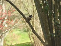 A great spotted woodpecker looking left. A great spotted woodpecker posing like a model in a branch Stock Photos