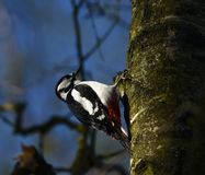 Great spotted woodpecker in denmark Royalty Free Stock Images