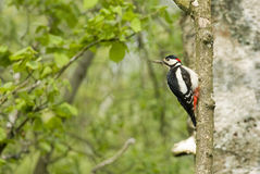 Great Spotted Woodpecker (Male) Royalty Free Stock Image