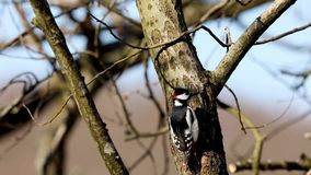 Great spotted woodpecker, male bird sitting on a tree trunk looking around. Bare trees in spring, sunlight. Kristiansand, Norway stock footage