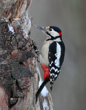 Great Spotted Woodpecker male. The picture was taken in Hungary Stock Photo