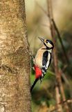 The great spotted woodpecker stock image