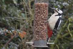 Great Spotted Woodpecker on Peanut Feeder Royalty Free Stock Image