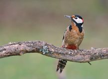 Great spotted woodpecker perched. Royalty Free Stock Images