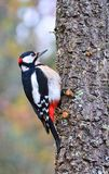 Great spotted woodpecker perched on a log. Stock Photo