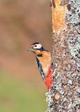 Great spotted woodpecker perched on a log. Royalty Free Stock Image