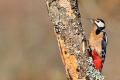 Great spotted woodpecker perched on a log. Royalty Free Stock Photos