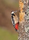 Great spotted woodpecker perched on a log. Royalty Free Stock Photo