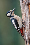 Great spotted woodpecker. Perched on a tree Royalty Free Stock Images