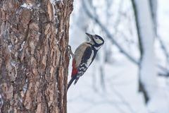 Great spotted woodpecker on the  pine. Option 3. Great spotted woodpecker on the trunk of pine Royalty Free Stock Photos