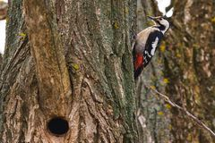 Great spotted woodpecker on a pine tree on a spring morning in the hollow building. Bird, forest, nature, major, wildlife, animal, beak, red, black, moscow stock photography