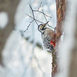 Great spotted woodpecker on   pine. Stock Images