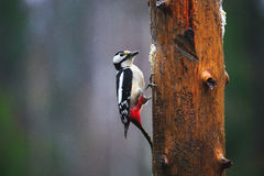 Great Spotted Woodpecker in a rainy spring forest. Close-up of Great Spotted Woodpecker sitting on a tree in a rainy spring forest Stock Photo