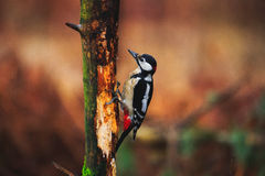 Great Spotted Woodpecker in a rainy spring forest Royalty Free Stock Photography
