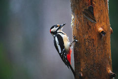 Great Spotted Woodpecker in a rainy spring forest Stock Photos