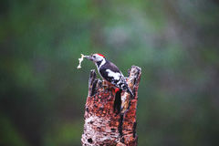 Great Spotted Woodpecker in a rainy spring forest Royalty Free Stock Images