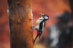 Great Spotted Woodpecker in a rainy spring forest. Close-up of Great Spotted Woodpecker sitting on a tree in a rainy spring forest Royalty Free Stock Photography