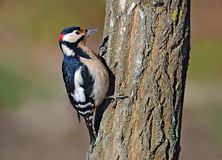 Male Great Spotted Woodpecker sits and exams the bark stock photos