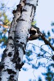 Great Spotted Woodpecker. Sitting on the tree Stock Photography