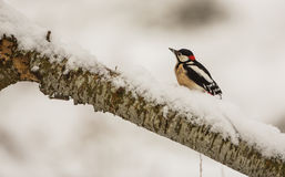 Great Spotted Woodpecker with snow Stock Photo