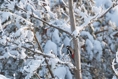 Great spotted woodpecker in a snowy forest Stock Photos