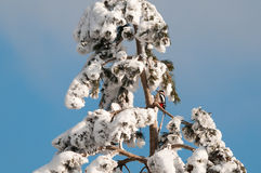 Great spotted woodpecker on a snowy pine tree Royalty Free Stock Photography