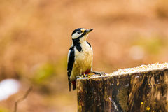 Great Spotted Woodpecker on a stump. Great Spotted Woodpecker sitting on a stump in a forest Stock Photo
