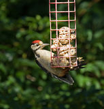 Great Spotted Woodpecker in sunlight Stock Photography