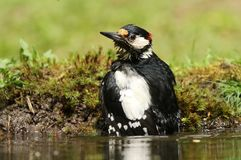 Great spotted woodpecker taking a nice bath on a hot summers day. This great spotted woodpecker just had a bath in the pond on a hot summers day Royalty Free Stock Photos