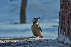 Great spotted woodpecker . Royalty Free Stock Photos