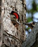 Great Spotted Woodpecker About To Feed Its Chick royalty free stock photos